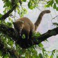 Coatí en Cataratas del Iguazú, Provincia de Misiones