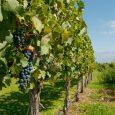 Uvas en viñedo, Provincia de Mendoza
