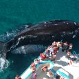 Southern Right Whale, Puerto Madryn, Province of Chubut