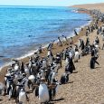 Magallanes' penguins, Punta Tombo, Province of Chubut